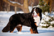bernese mountain dog portrait in the snow