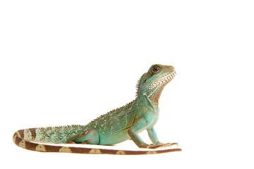 Wasseragame Leguan Eidechse Lizzard Reptil