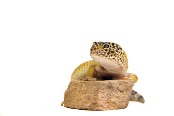 Leopardgecko,Eidechse,Reptil