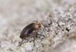 Wood living beetle on oak, extreme close-up
