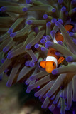 A clown fish portrait in Borneo, Indonesia