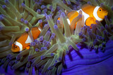 A clown fish family close up portrait