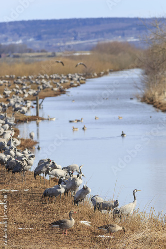 Common Cranes on field at the river