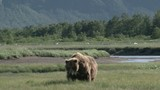 Grizzly Bear eating grass standing in strong wind