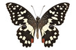 "Butterfly species Papilio demoleus "" Lemon Butterfly"""