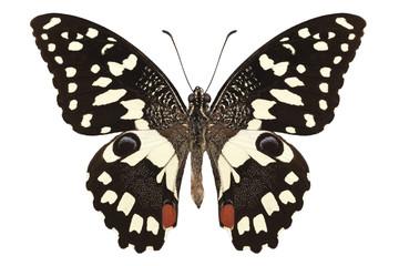 """Butterfly species Papilio demoleus """" Lemon Butterfly"""""""