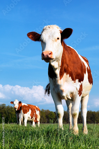cow and fresh grass