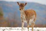 lonesome young deer in winter poster