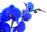 Fototapety blaue orchidee