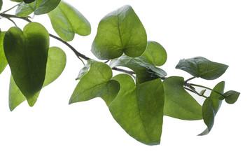 Frisches Efeublättergrün
