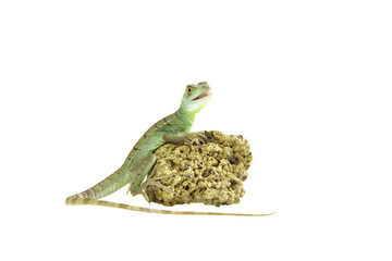 stirnlappen basilisk leguan echse reptil