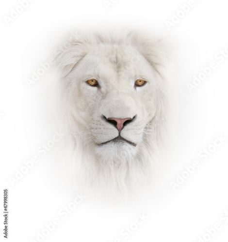 white lion on the white background