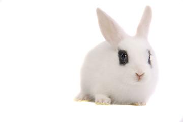 Zwergkaninchen, Kaninchen, Hase