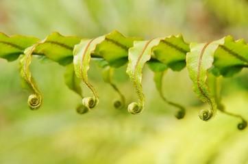 Uncurling fern fronds