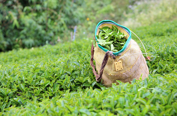 Tea bushes and a traditional basket used by tea-pickers on an up