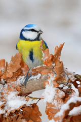 Beautiful winter picture of blue tit