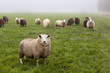 Dutch sheep on pasture