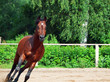 running bay sportive horse in open manege