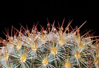 Cactus con gotas de rocio.