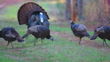 Wild Turkey Gobber with Hens