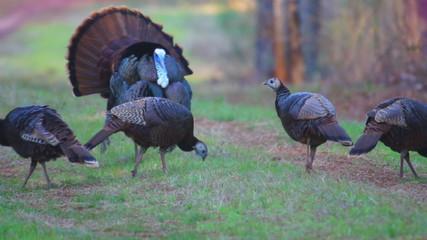 Wild Turkey Gobber with Hens