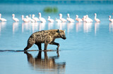 Wading Hyena in search of Flamingo prey