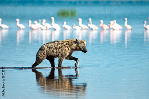 Poster Hyena Wading Hyena in search of Flamingo prey