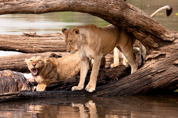 Lions protect Hippo kill.