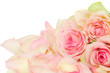 pink roses with petals