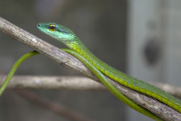 Green Tree Snake waiting on a branch.