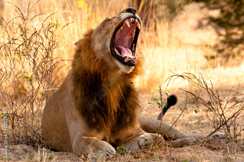 Male Lion yawns