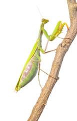 Mantis trepando por una rama