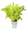 Fresh lettuce sprouted in a small metal bucket.