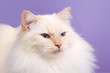 Ragdoll on purple background