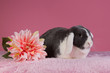 Mini-lop rabbit with pink background and flower