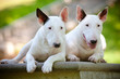 two white bull terriers posing together