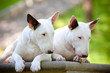 two white english bull terrier dogs