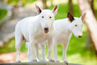 two white bull terriers standing close