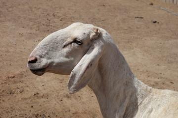 Hammel Schaf (Mouton) in Bamako, Mali (Afrika) Africa
