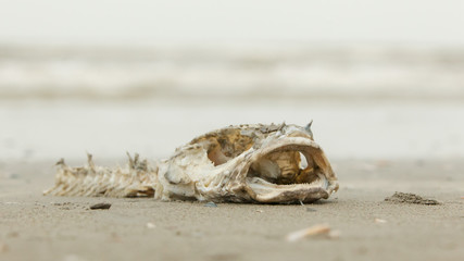 Decomposing dead fish carcass