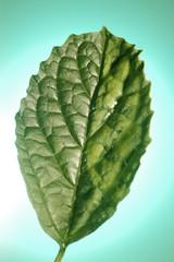 frozen mint leaf