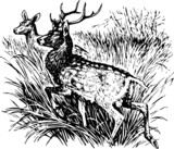 Deer cervus nippon - 48048511
