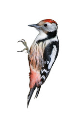 Middle Spotted Woodpecker isolated on white background