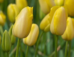 Close up of yellow tulips