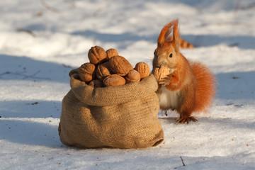 Squirrel gnaws a nut