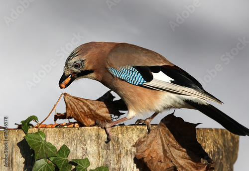 A Jay eating peanuts on a tree stump in autumn