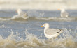 Herring gull on a beach