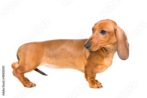 red dachshund puppy on isolated white