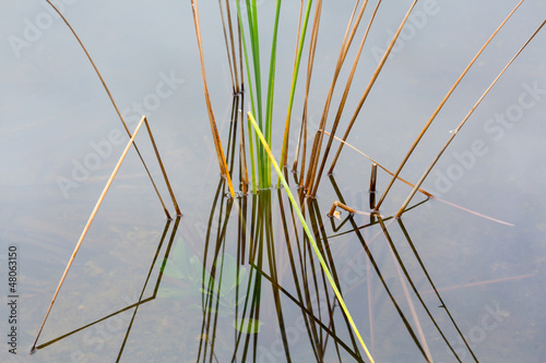 Empty bed of reeds in Everglades Florida