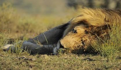 Il riposo del leone